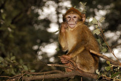 Mono de Barbary (sylvanus del Macaca) en madera del cedro cerca Foto de archivo libre de regalías