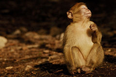 Mono de Barbary (sylvanus del Macaca) en madera del cedro cerca Imagen de archivo