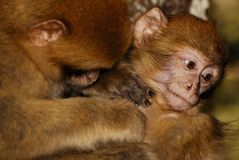 Mono de Barbary (sylvanus del Macaca) en madera del cedro cerca Foto de archivo