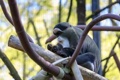 Mono de De Brazza en el parque zoológico de Oregon fotografía de archivo