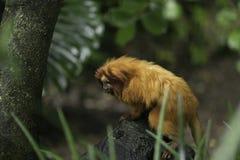 Mono de Brown en bosque Fotografía de archivo