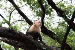 Mono de cabeza blanca del capuchón en Costa Rica Imágenes de archivo libres de regalías