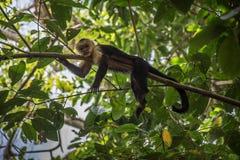 Mono de cabeza blanca viejo en un árbol en Corcovado Imagenes de archivo