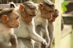 Mono de capo cuatro que se sienta en puerta o pared foto de archivo libre de regalías