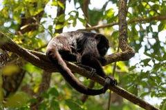 Mono de chillón foto de archivo libre de regalías