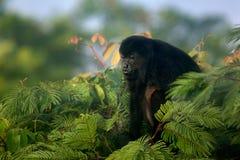 Mono de chillón imágenes de archivo libres de regalías