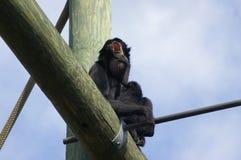 Mono de chillón Imagenes de archivo