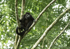 Mono de chillón Fotografía de archivo