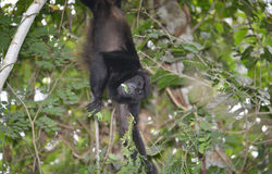 Mono de chillón Imagen de archivo libre de regalías