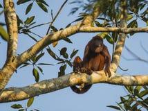 Mono de chillón Foto de archivo