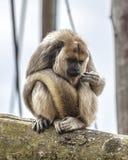 Mono de chillón de la lectura de la palma Imagenes de archivo