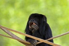 Mono de chillón del Negro-Oro Foto de archivo