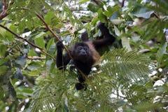 Mono de chillón en árbol Fotos de archivo