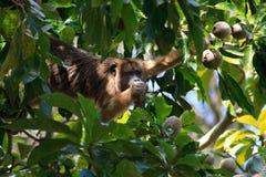 Mono de chillón en el pantanal, el Brasil foto de archivo