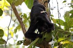 Mono de chillón en un árbol 02 fotografía de archivo