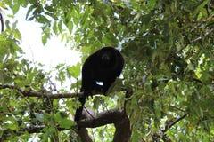 Mono de chillón en una rama, imagen de archivo