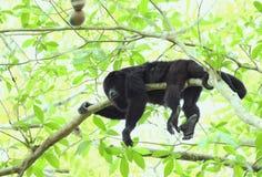Mono de chillón negro guatemalteco - varón fotografía de archivo