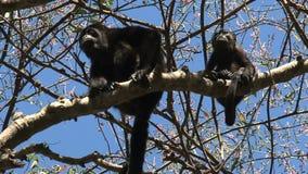 Mono de chillón negro de la madre y del bebé en un árbol almacen de metraje de vídeo