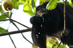 Mono de chillón negro que come una fruta del anacardo fotografía de archivo
