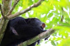Mono de chillón negro que grita cerca para arriba Foto de archivo libre de regalías