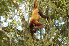 Mono de chillón rojo 100 Imagen de archivo