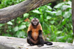 Mono de chillón rojo Imagen de archivo libre de regalías