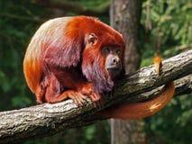 Mono de chillón rojo foto de archivo