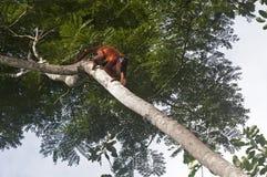 Mono de chillón rojo Imagenes de archivo