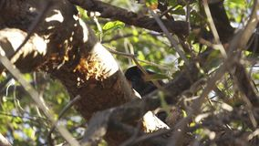 Mono de chillón salvaje que oculta detrás de ramas en un árbol tímido y tímido metrajes