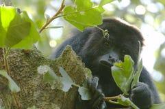 Mono de chillón negro, Belice Fotos de archivo libres de regalías