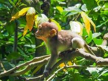 Mono de cola larga del Balinese del bebé Fotos de archivo libres de regalías