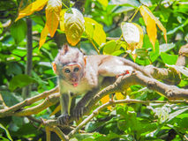 Mono de cola larga del Balinese del bebé Fotografía de archivo