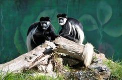 Mono de Colobus Imagenes de archivo