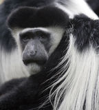 Mono de Colobus fotografía de archivo