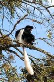 Mono de Colobus Imagen de archivo libre de regalías