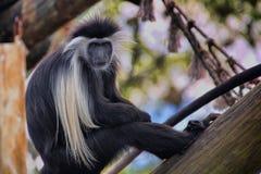Mono de Colobus Imágenes de archivo libres de regalías