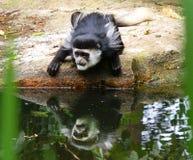 Mono de Colobus Fotos de archivo libres de regalías
