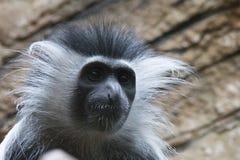 Mono de colobus angolano imagenes de archivo