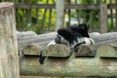 Mono de colobus angolano foto de archivo