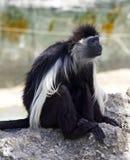 Mono de Colobus blanco y negro imagenes de archivo