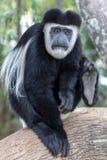 Mono de colobus blanco y negro, en Kenia, África fotos de archivo