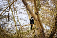 Mono de Colobus en un árbol de fiebre imagen de archivo libre de regalías