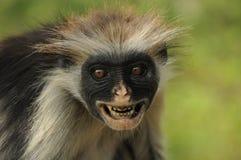 Mono de colobus rojo Fotos de archivo