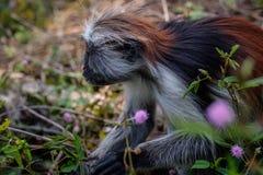 Mono de colobus rojo en el bosque de Jozani Foto de archivo libre de regalías