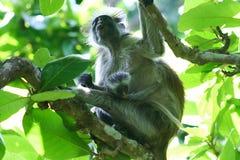 mono de colobus rojo en peligro Piliocolobus, madre del kirkii de Procolobus con el bebé en los árboles del bosque de Jozani, Zan fotos de archivo libres de regalías