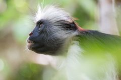 Mono de colobus rojo que mira para arriba en el bosque fotografía de archivo libre de regalías