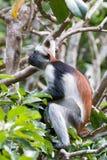 Mono de colobus rojo que mira para arriba en el bosque foto de archivo libre de regalías
