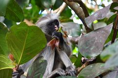 Mono de colobus rojo, Zanzibar fotografía de archivo libre de regalías