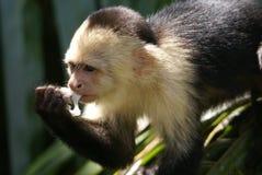 Mono de Costa Rica fotos de archivo