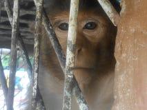 Mono de Entellus fotografía de archivo libre de regalías